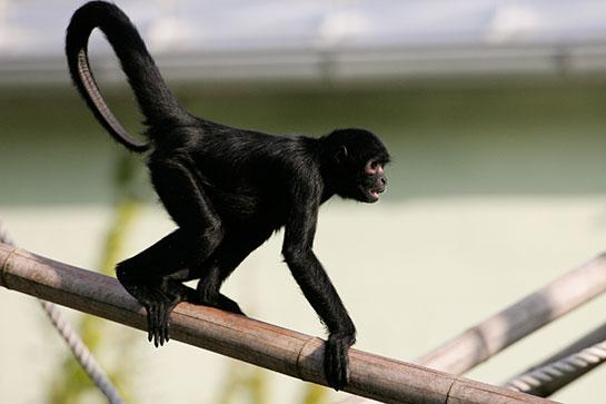 siyah örümcek maymunu ile ilgili görsel sonucu